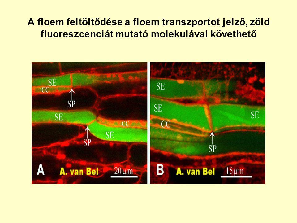 A floem feltöltődése a floem transzportot jelző, zöld fluoreszcenciát mutató molekulával követhető