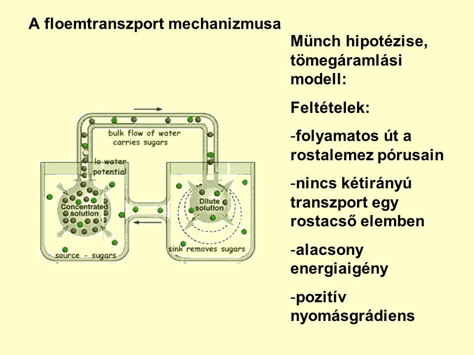 A floemtranszport mechanizmusa