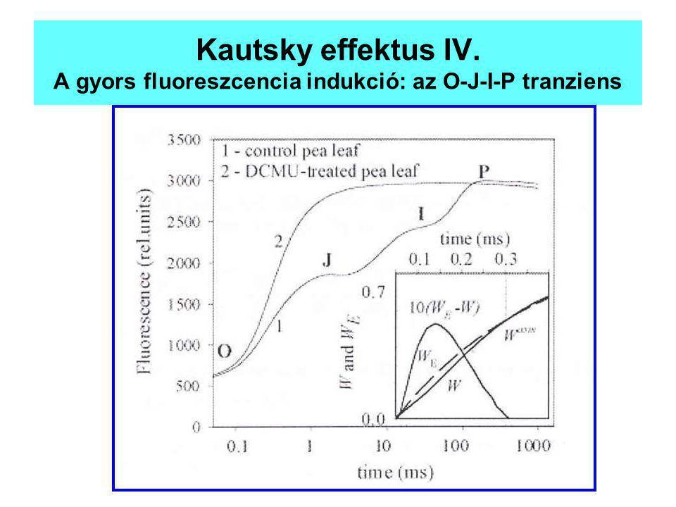 Kautsky effektus IV. A gyors fluoreszcencia indukció: az O-J-I-P tranziens
