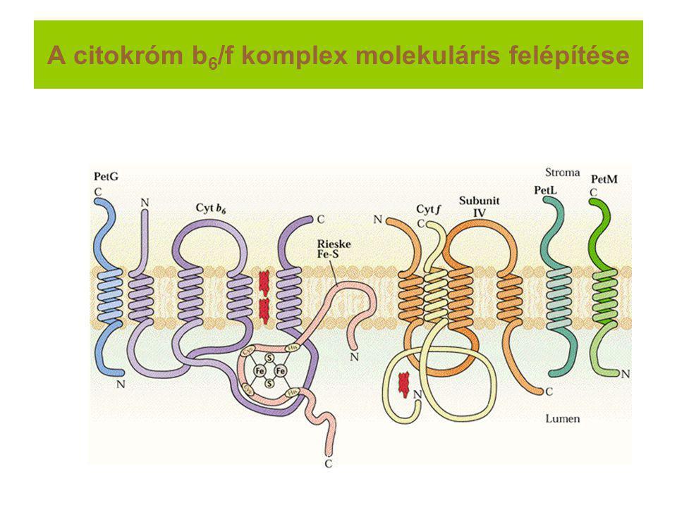 A citokróm b6/f komplex molekuláris felépítése