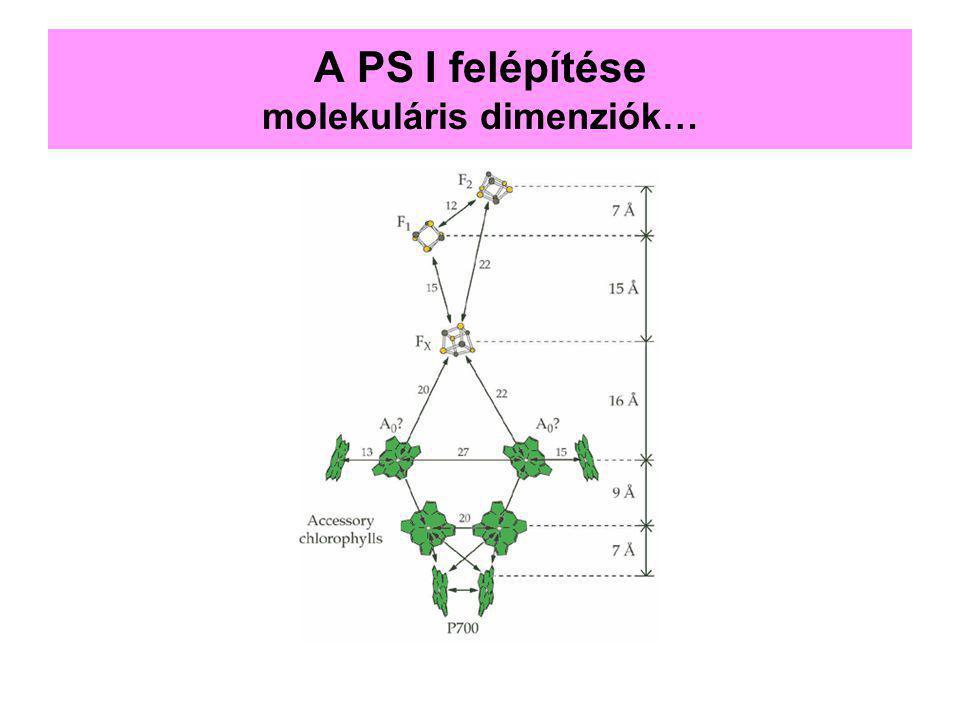 A PS I felépítése molekuláris dimenziók…