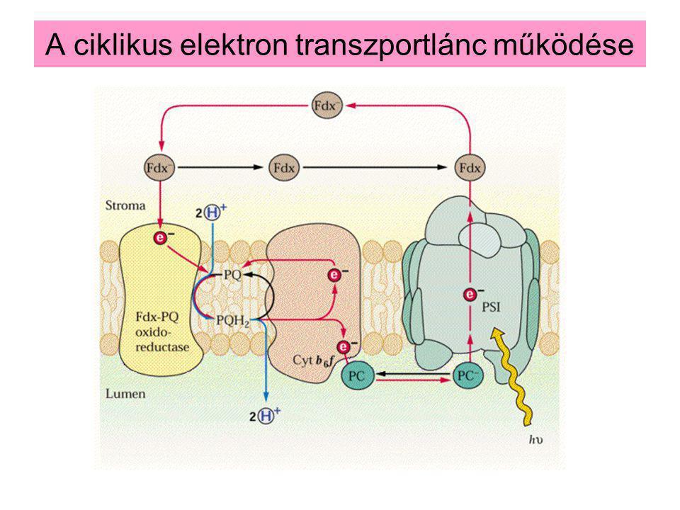 A ciklikus elektron transzportlánc működése