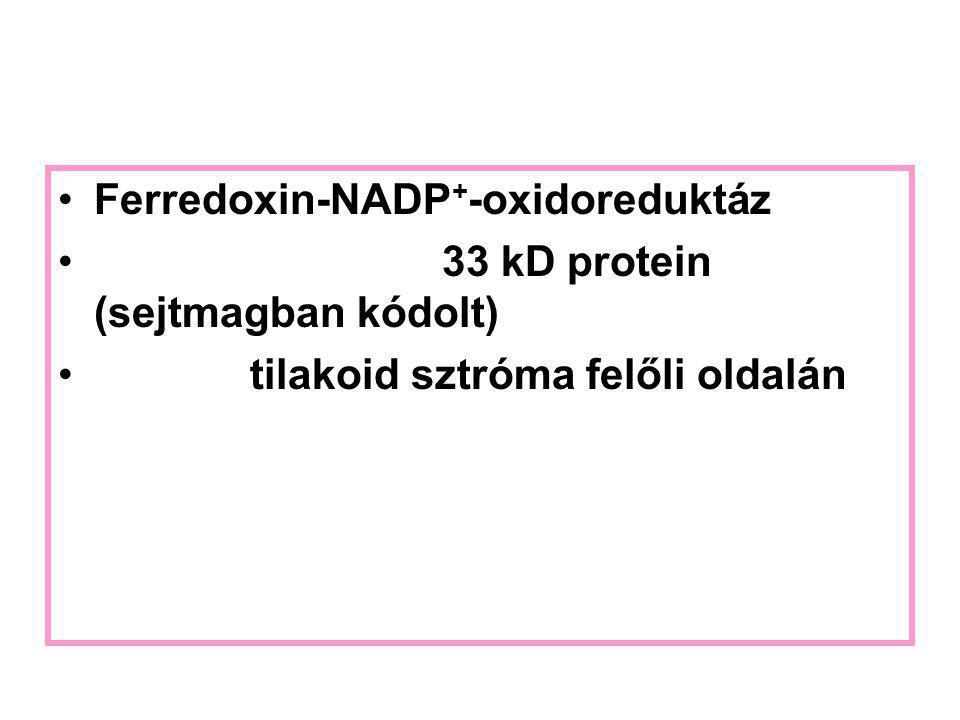 Ferredoxin-NADP+-oxidoreduktáz