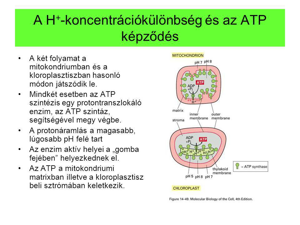A H+-koncentrációkülönbség és az ATP képződés