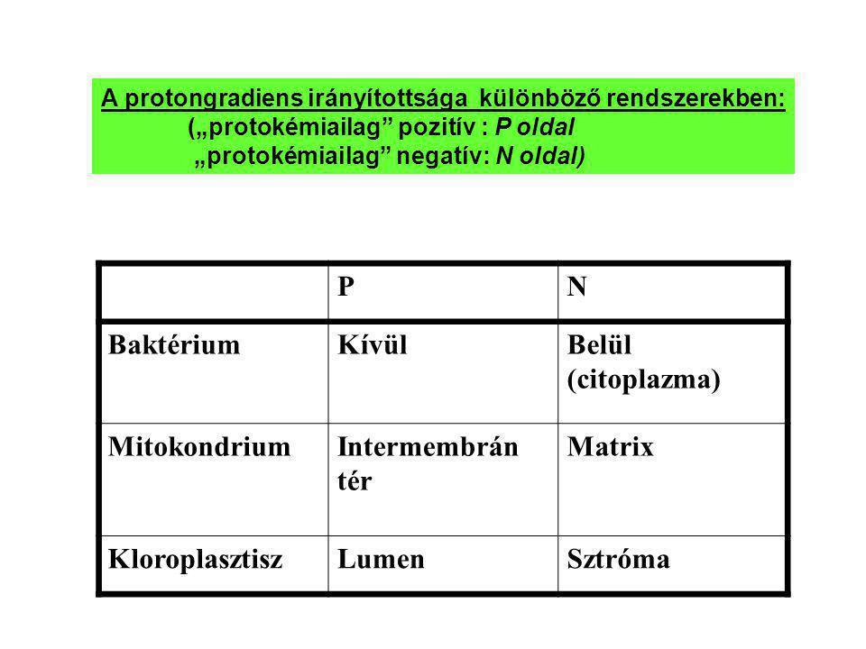 P N Baktérium Kívül Belül (citoplazma) Mitokondrium Intermembrán tér