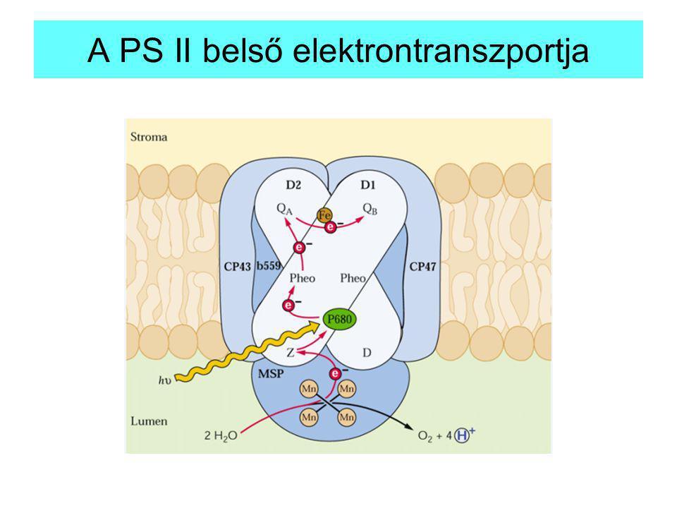A PS II belső elektrontranszportja
