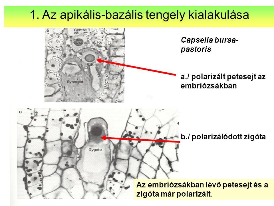 1. Az apikális-bazális tengely kialakulása