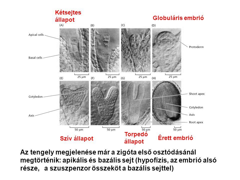 Kétsejtes állapot Globuláris embrió. Torpedó állapot. Szív állapot. Érett embrió.