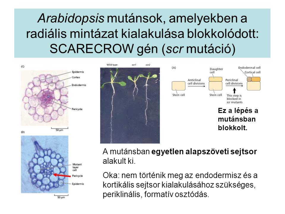 Arabidopsis mutánsok, amelyekben a radiális mintázat kialakulása blokkolódott: SCARECROW gén (scr mutáció)