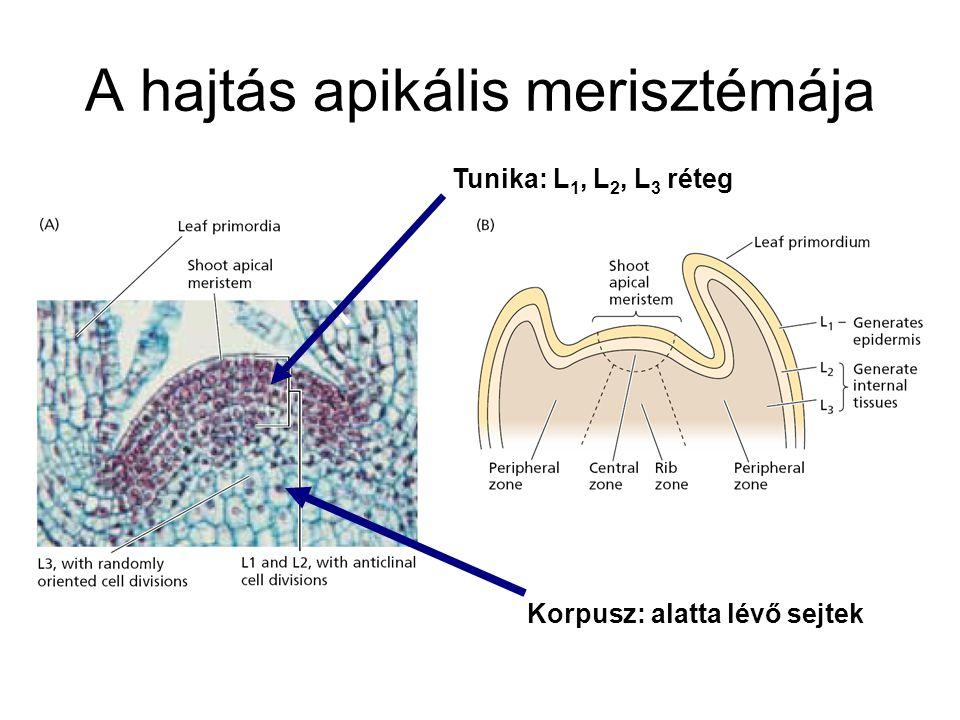 A hajtás apikális merisztémája