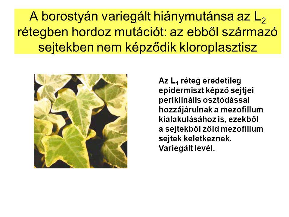 A borostyán variegált hiánymutánsa az L2 rétegben hordoz mutációt: az ebből származó sejtekben nem képződik kloroplasztisz