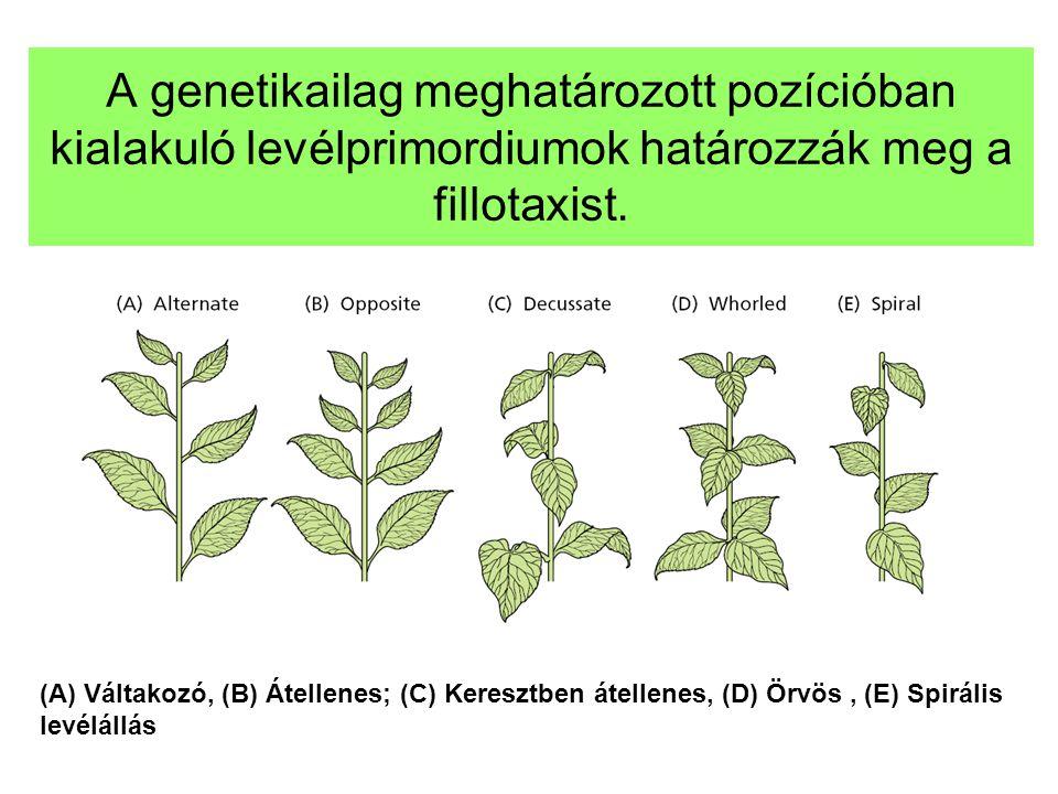 A genetikailag meghatározott pozícióban kialakuló levélprimordiumok határozzák meg a fillotaxist.