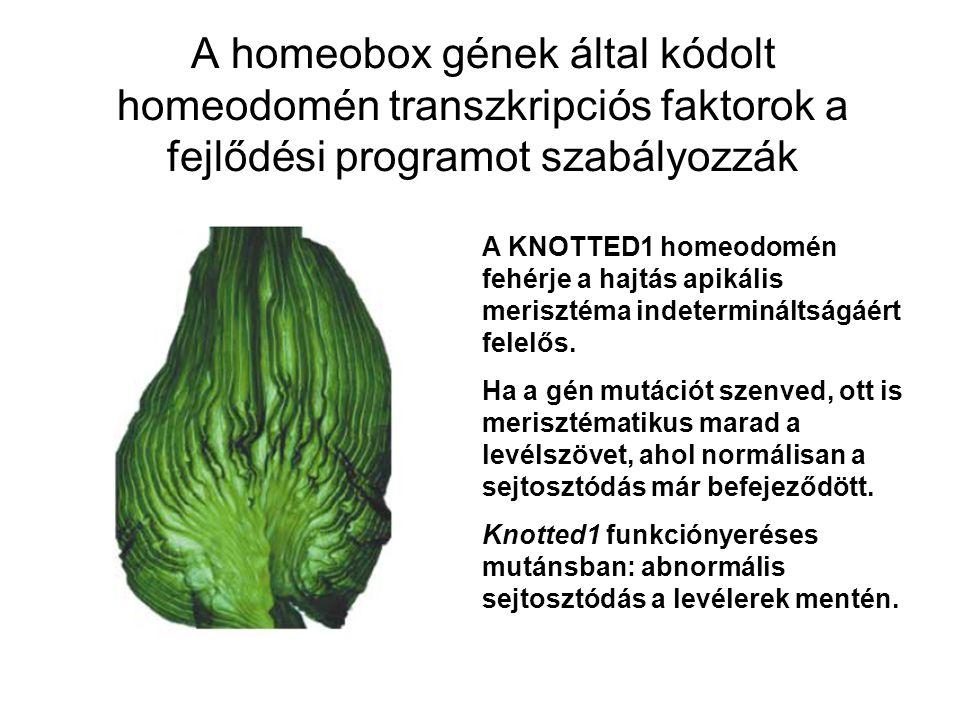 A homeobox gének által kódolt homeodomén transzkripciós faktorok a fejlődési programot szabályozzák