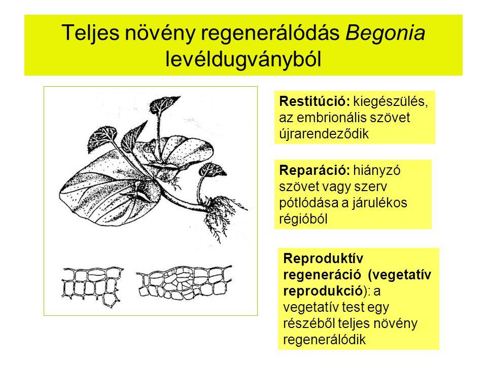 Teljes növény regenerálódás Begonia levéldugványból