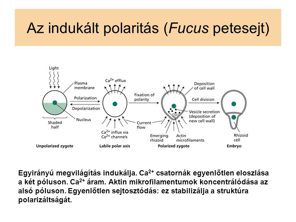 Az indukált polaritás (Fucus petesejt)