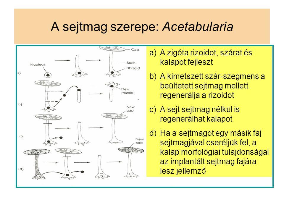 A sejtmag szerepe: Acetabularia