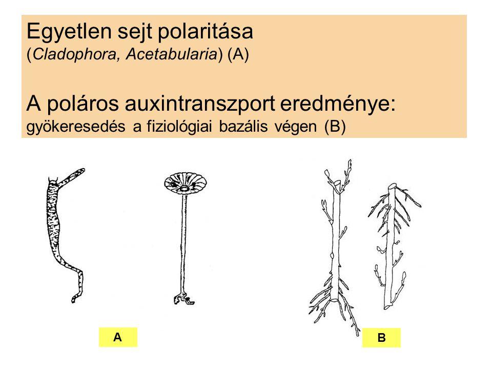 Egyetlen sejt polaritása (Cladophora, Acetabularia) (A) A poláros auxintranszport eredménye: gyökeresedés a fiziológiai bazális végen (B)