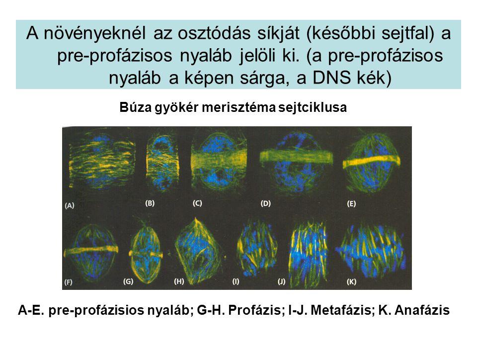 A növényeknél az osztódás síkját (későbbi sejtfal) a pre-profázisos nyaláb jelöli ki. (a pre-profázisos nyaláb a képen sárga, a DNS kék)