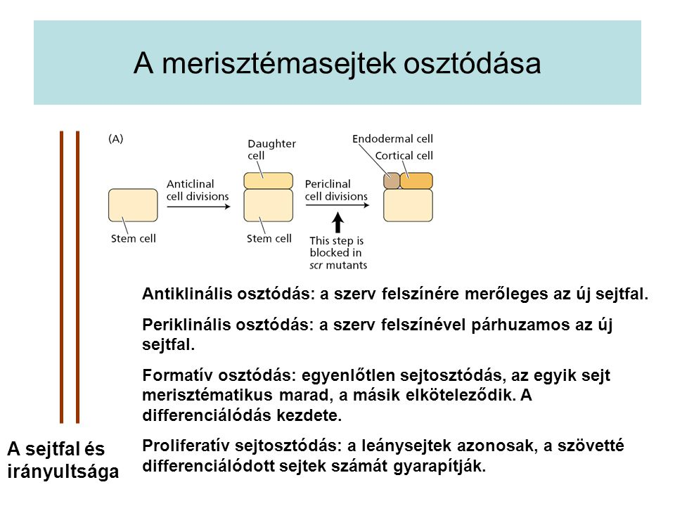 A merisztémasejtek osztódása