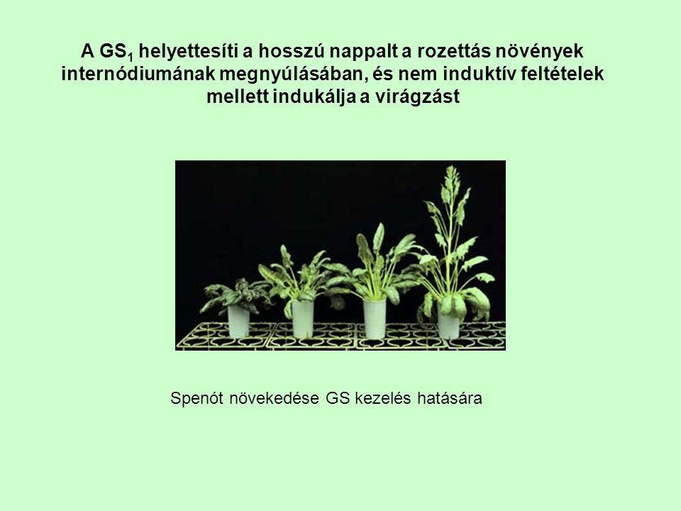 A GS1 helyettesíti a hosszú nappalt a rozettás növények internódiumának megnyúlásában, és nem induktív feltételek mellett indukálja a virágzást
