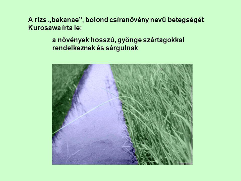 """A rizs """"bakanae , bolond csíranövény nevű betegségét Kurosawa írta le:"""