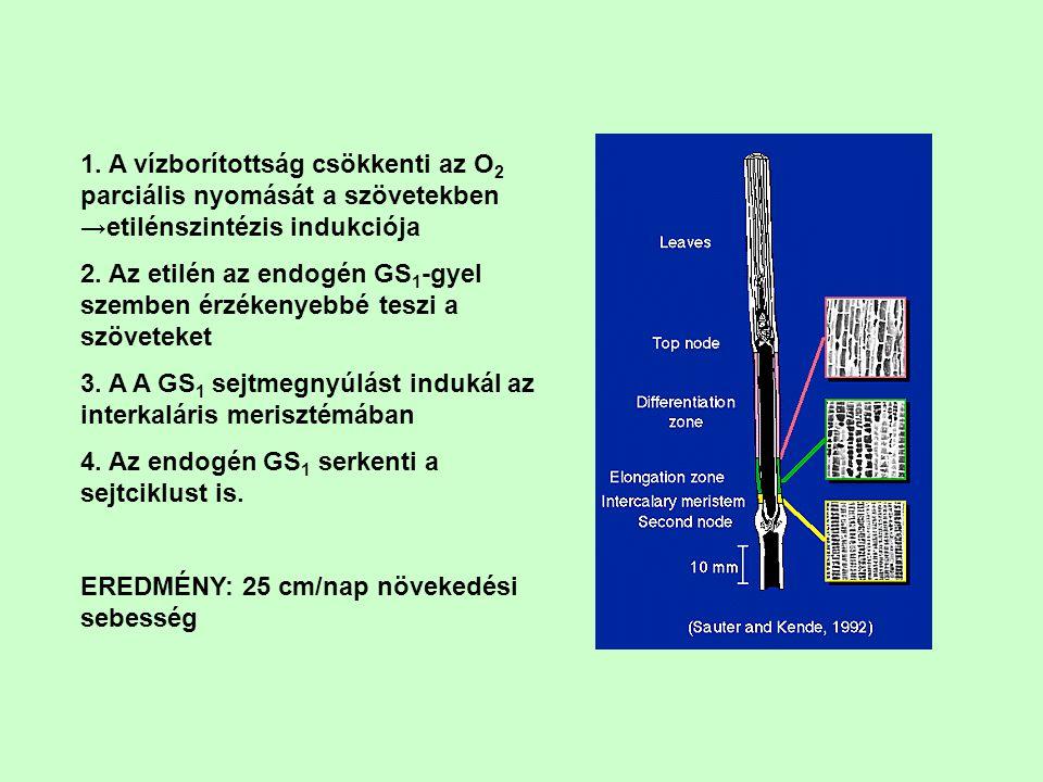 1. A vízborítottság csökkenti az O2 parciális nyomását a szövetekben →etilénszintézis indukciója