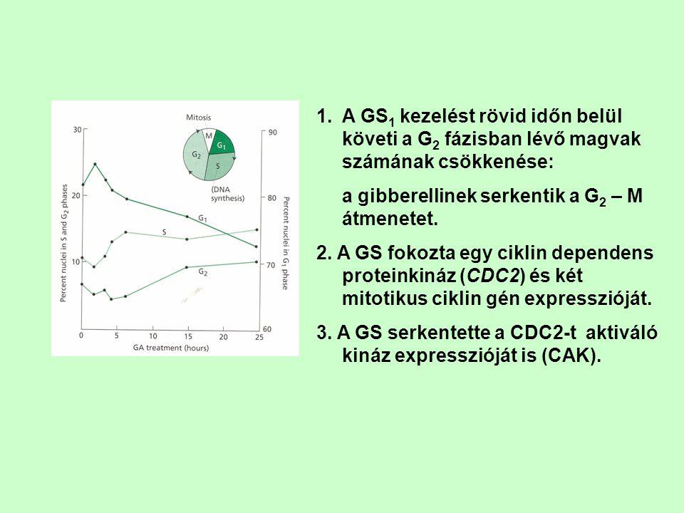A GS1 kezelést rövid időn belül követi a G2 fázisban lévő magvak számának csökkenése: