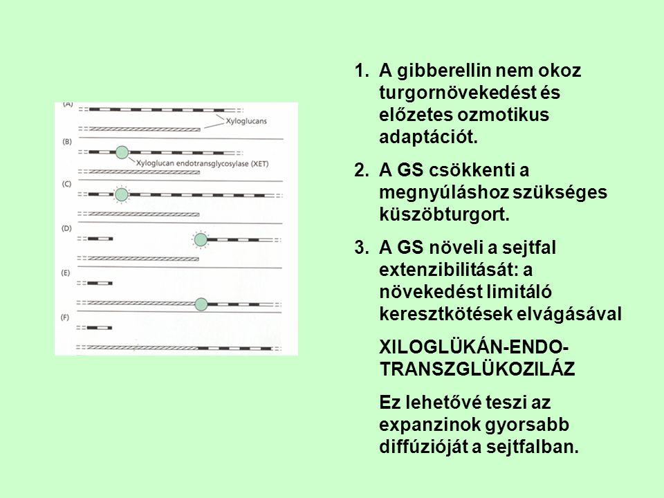 A gibberellin nem okoz turgornövekedést és előzetes ozmotikus adaptációt.