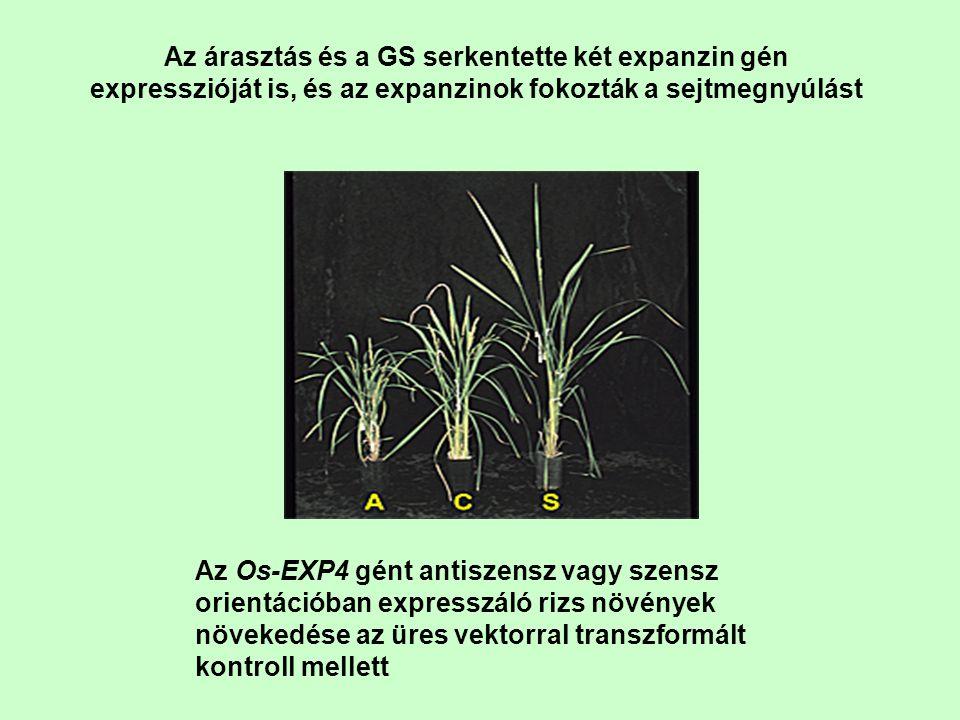 Az árasztás és a GS serkentette két expanzin gén expresszióját is, és az expanzinok fokozták a sejtmegnyúlást