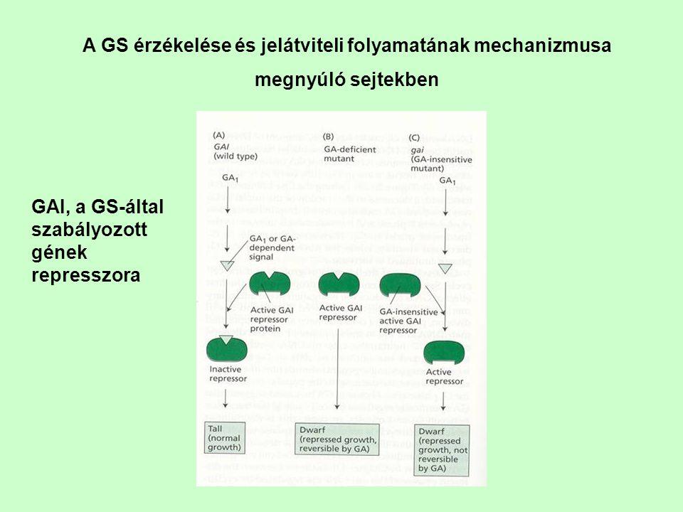 A GS érzékelése és jelátviteli folyamatának mechanizmusa