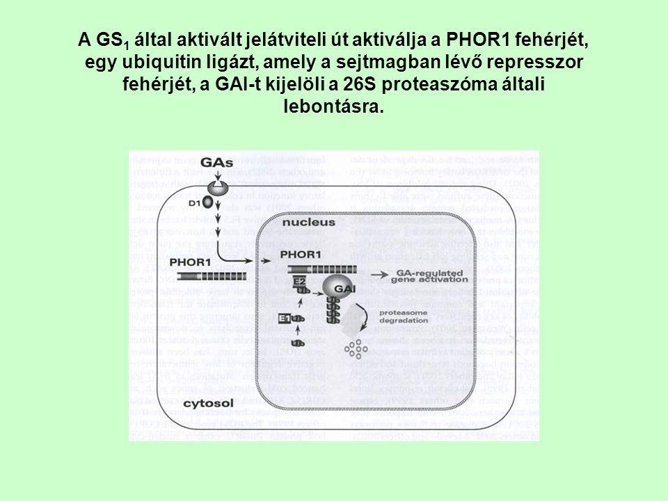 A GS1 által aktivált jelátviteli út aktiválja a PHOR1 fehérjét, egy ubiquitin ligázt, amely a sejtmagban lévő represszor fehérjét, a GAI-t kijelöli a 26S proteaszóma általi lebontásra.