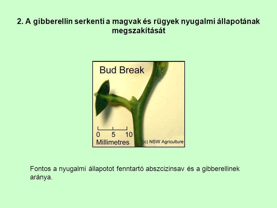 2. A gibberellin serkenti a magvak és rügyek nyugalmi állapotának megszakítását