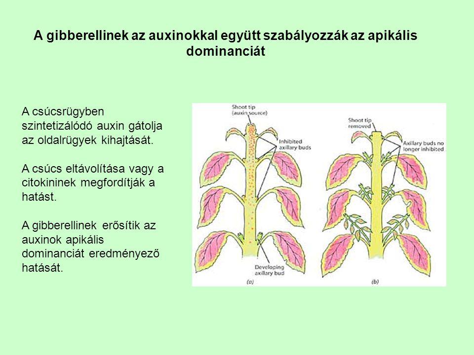 A gibberellinek az auxinokkal együtt szabályozzák az apikális dominanciát