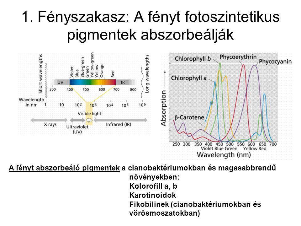 1. Fényszakasz: A fényt fotoszintetikus pigmentek abszorbeálják