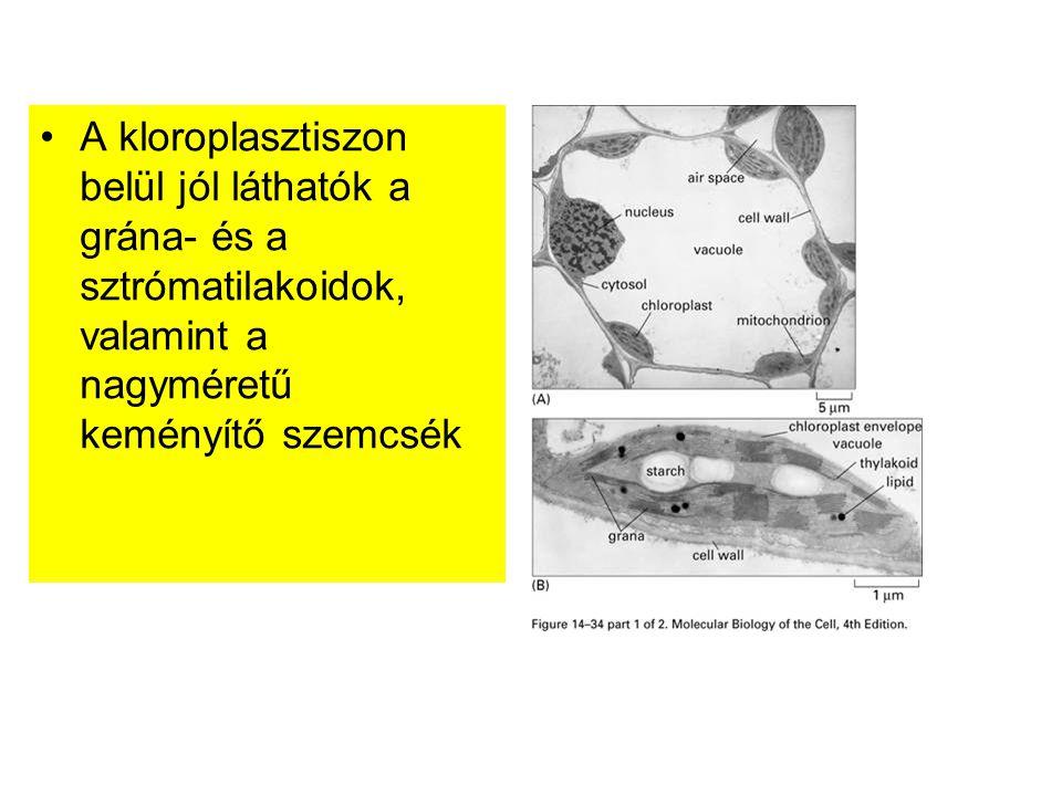 A kloroplasztiszon belül jól láthatók a grána- és a sztrómatilakoidok, valamint a nagyméretű keményítő szemcsék