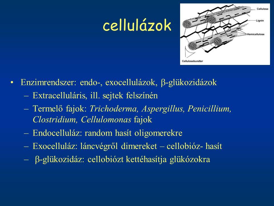 cellulázok Enzimrendszer: endo-, exocellulázok, b-glükozidázok