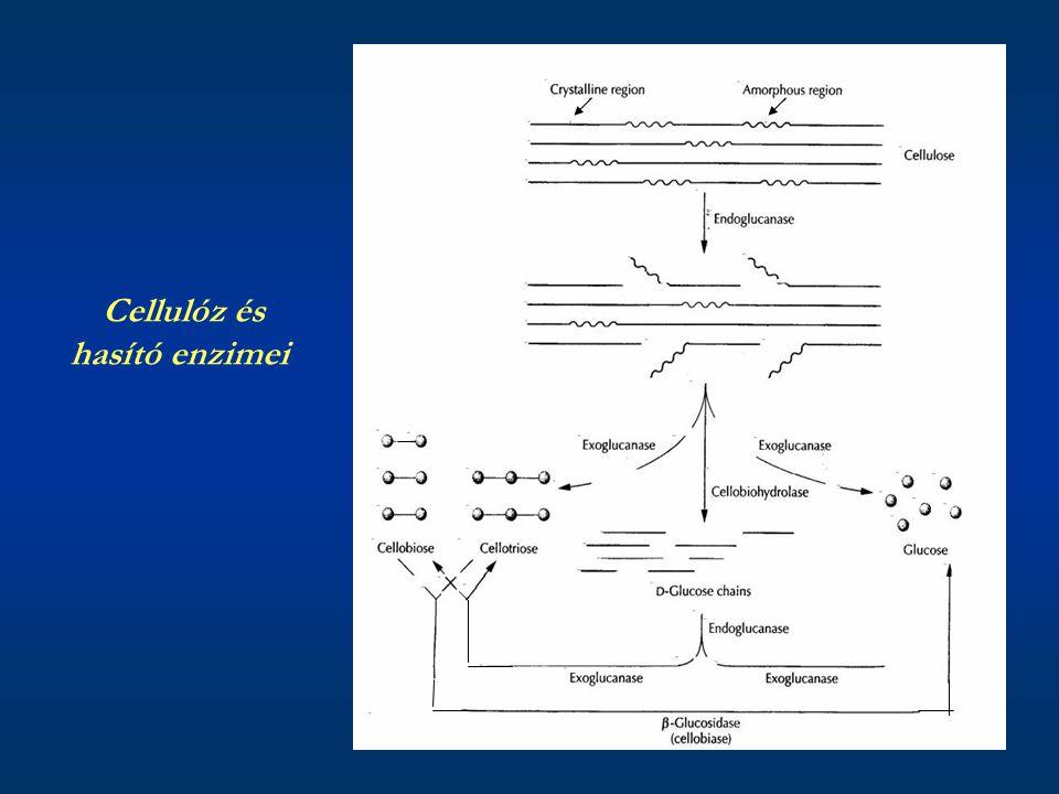 Cellulóz és hasító enzimei