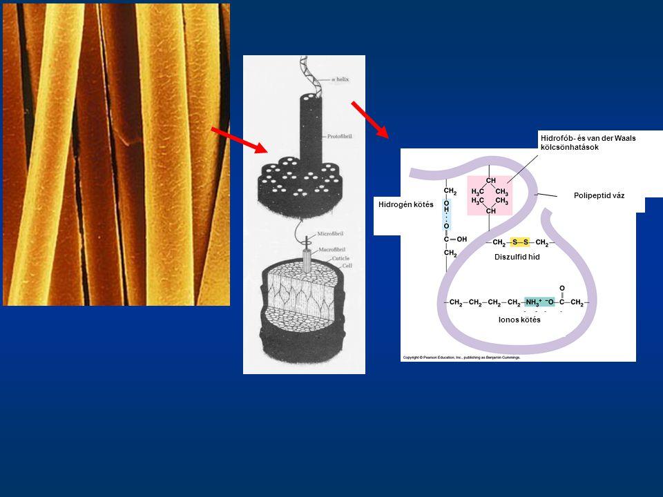 Hidrogén kötés Diszulfid híd Ionos kötés Hidrofób- és van der Waals kölcsönhatások Polipeptid váz