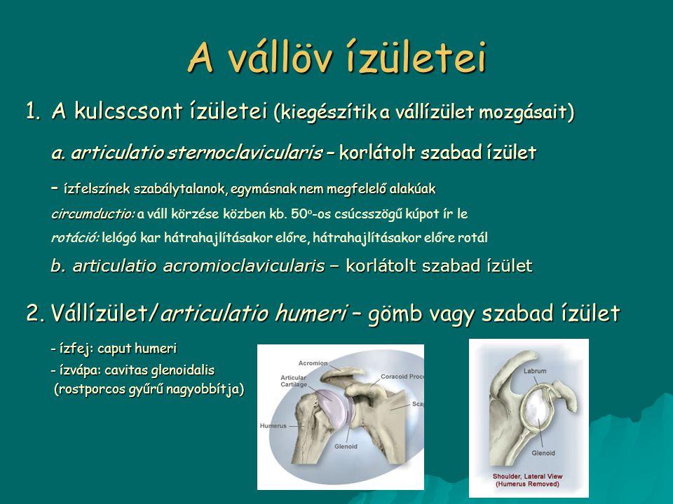 A vállöv ízületei A kulcscsont ízületei (kiegészítik a vállízület mozgásait) a. articulatio sternoclavicularis – korlátolt szabad ízület.