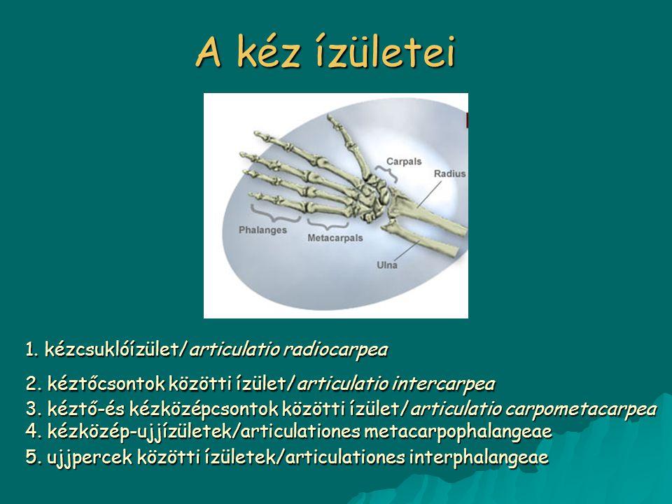 A kéz ízületei 1. kézcsuklóízület/articulatio radiocarpea