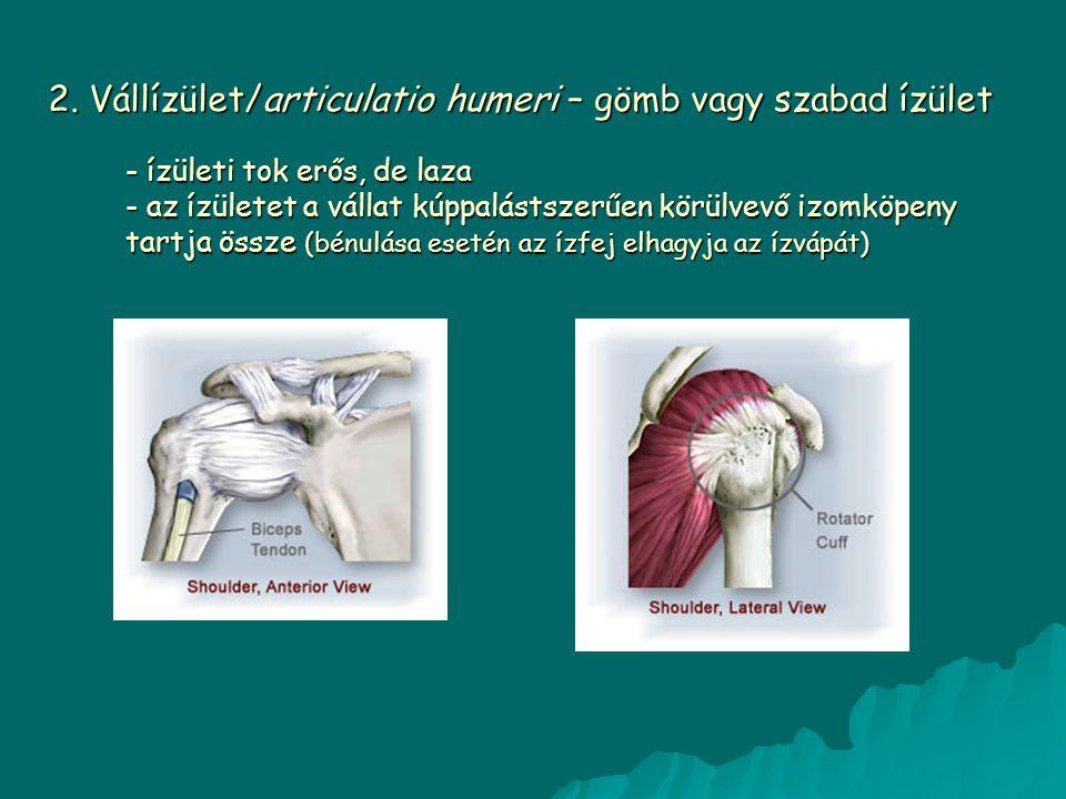 2. Vállízület/articulatio humeri – gömb vagy szabad ízület