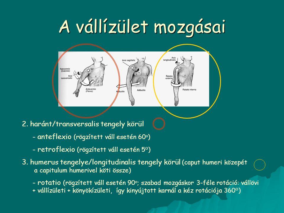 A vállízület mozgásai 2. haránt/transversalis tengely körül