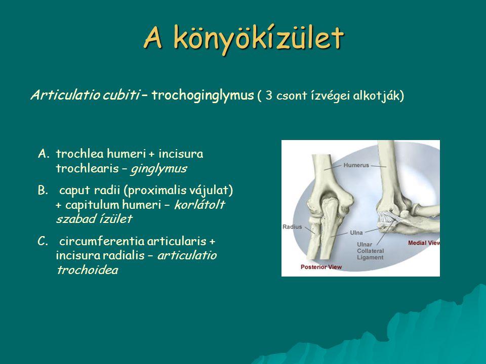 A könyökízület Articulatio cubiti – trochoginglymus ( 3 csont ízvégei alkotják) trochlea humeri + incisura trochlearis – ginglymus.