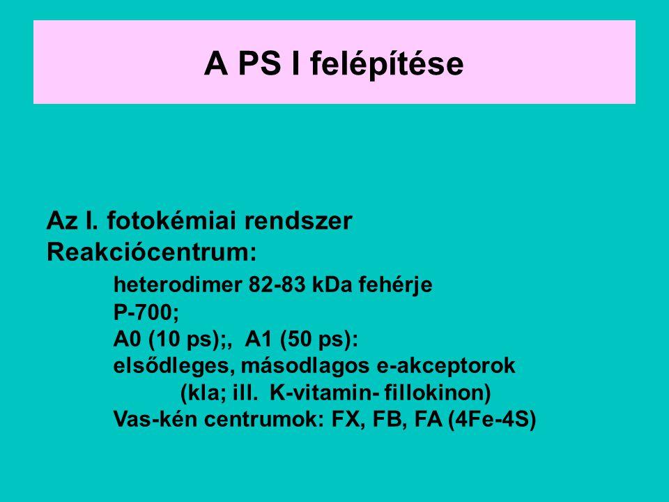 A PS I felépítése Az I. fotokémiai rendszer Reakciócentrum: