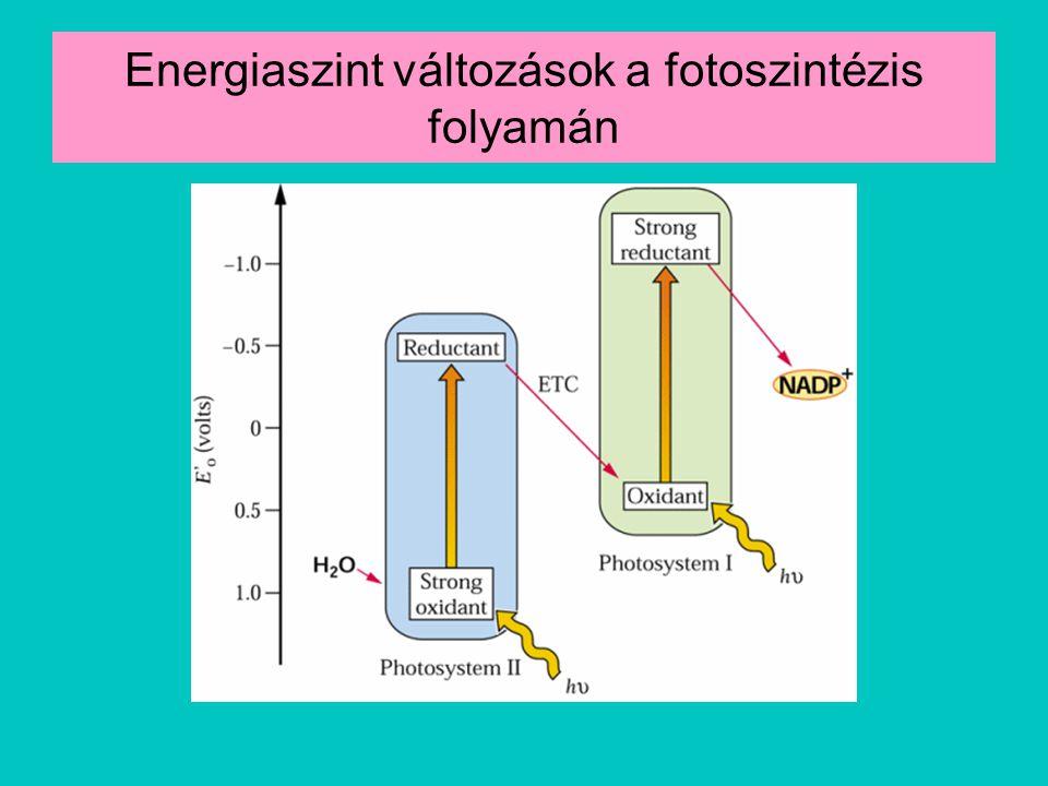 Energiaszint változások a fotoszintézis folyamán