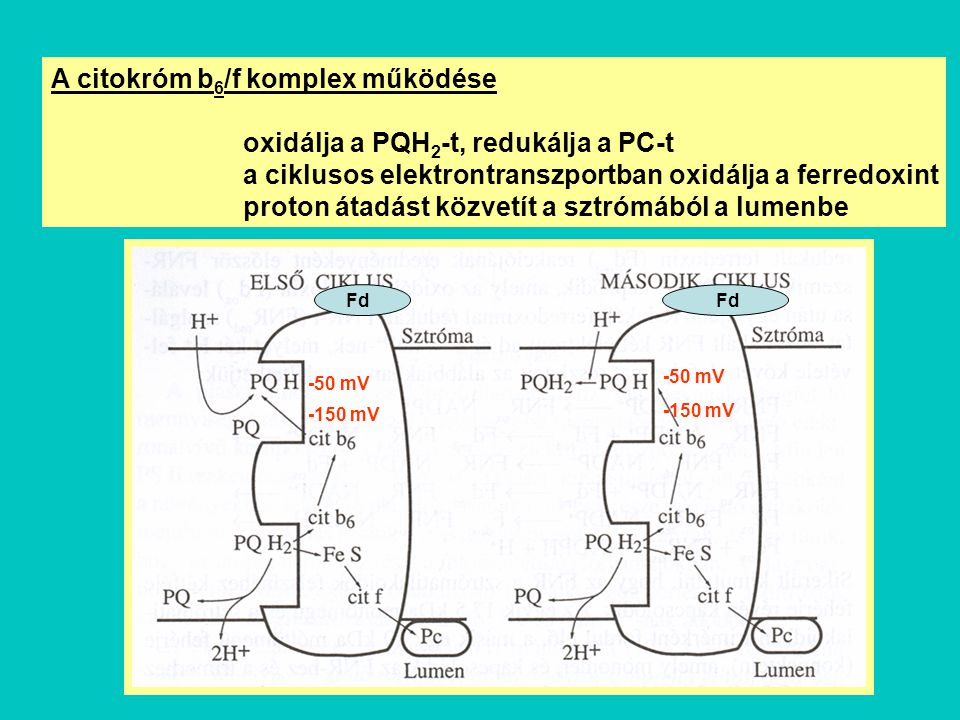 A citokróm b6/f komplex működése oxidálja a PQH2-t, redukálja a PC-t