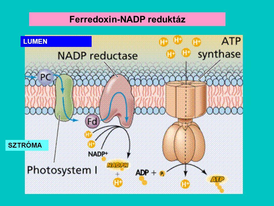 Ferredoxin-NADP reduktáz