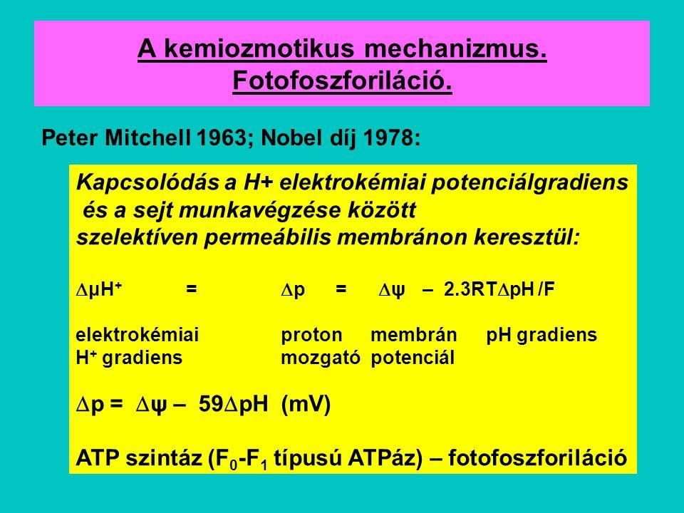 A kemiozmotikus mechanizmus. Fotofoszforiláció.
