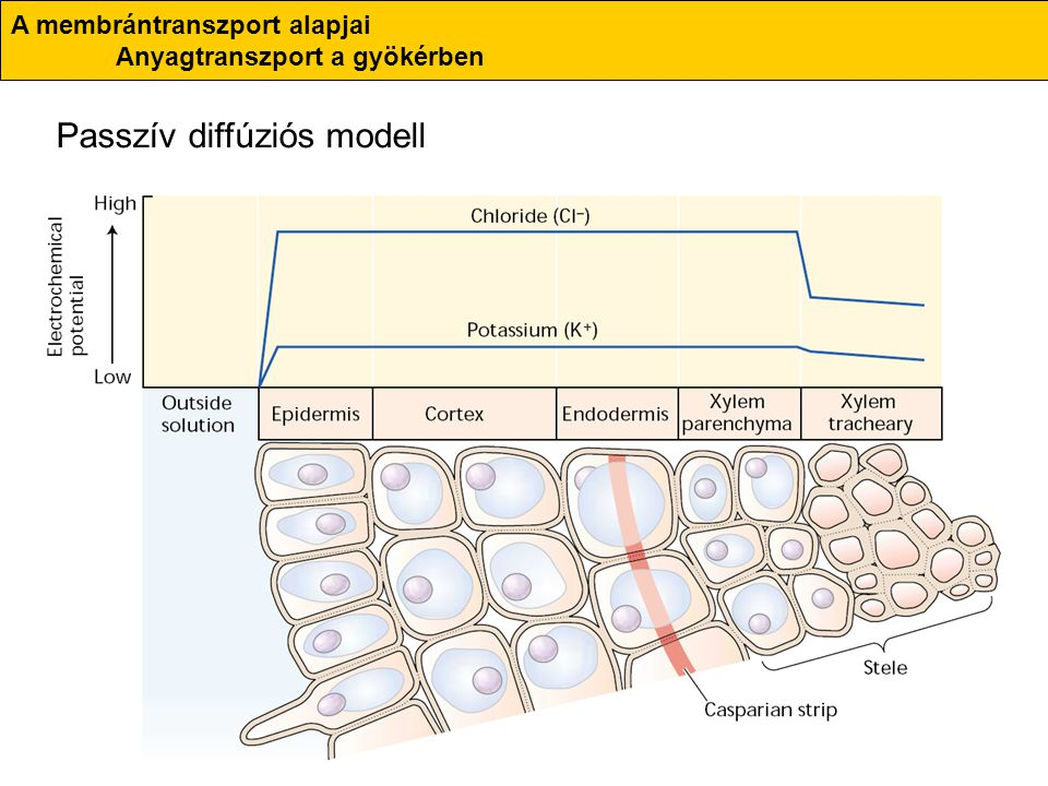 Passzív diffúziós modell