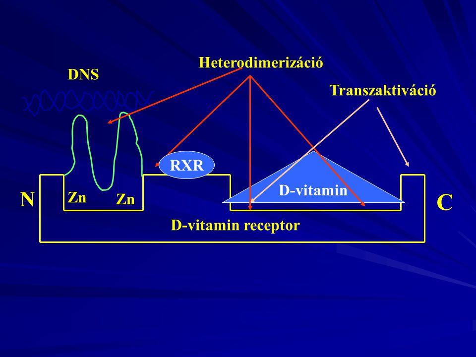 C N Heterodimerizáció DNS Transzaktiváció RXR D-vitamin Zn Zn
